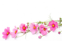 Bouquet of pink cosmos Stock photo [1087451] Cosmos