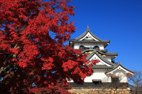 Autumn leaves and castle tower of Hikone Castle castle keep Stock photo [1087829] Hikone