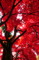 Maple autumn leaves Stock photo [1089510] Maples