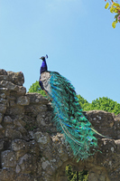 Walls of peacock Stock photo [1089566] Bird