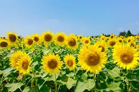 Sunflower Stock photo [1090706] Sunflower