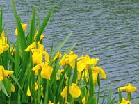 Yellow irises Stock photo [1197657] IRIS