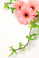 Gerbera and Ivy Stock photo [1199129] Gerbera
