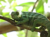 Madagascar chameleon Stock photo [1201043] Africa