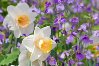 Narcissus and a multi-Araseitou flowers Stock photo [1202306] Narcissus