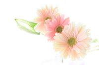 Gerbera background image Stock photo [1202416] Gerbera