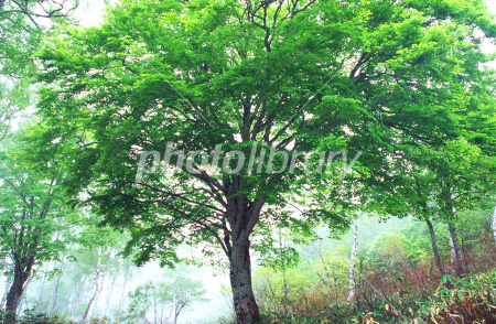ブナの画像 p1_7