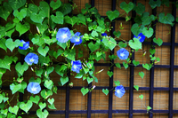 Morning glory Stock photo [41069] Gifu