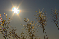 Japanese pampas grass and the Sun Stock photo [42091] Miscanthus