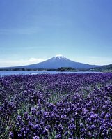 Lavender and Mount Fuji Stock photo [42190] Fields