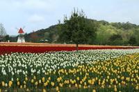 Tulip field Stock photo [1378899] Sera
