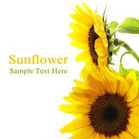 Sunflower Stock photo [1379573] Sunflower