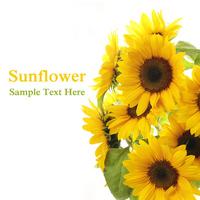 Sunflower Stock photo [1379579] Sunflower