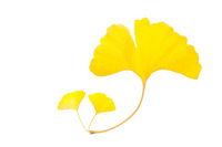 Ginkgo biloba leaf Stock photo [1380027] Ginkgo