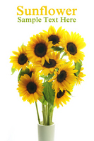 Sunflower Stock photo [1380274] Sunflower