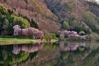 Large wild cherry tree of Lake Nakatsuna Stock photo [1381397] Nagano