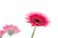Gerbera Stock photo [1381436] Gerbera