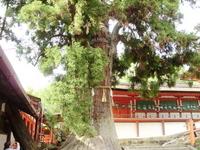 Kasuga Taisha Shrine of sacred tree Stock photo [1381492] Kasuga