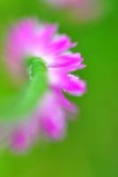 Spiranthes sinensis Stock photo [1381575] Spiranthes