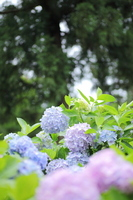 Pale color of hydrangea Stock photo [1382975] Hydrangea