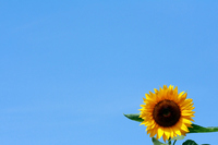 Midsummer flowers sunflower and blue sky next to one wheel Stock photo [1383709] Sunflower