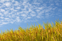 Rural landscape scales clouds and rice of blue sky Stock photo [1383737] Agriculture