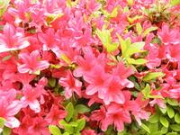 Azalea Stock photo [1384891] Azalea