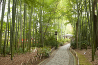 Small diameter of the bamboo forest Stock photo [1471106] Izu