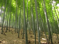 Bamboo forest Stock photo [1472179] Bamboo