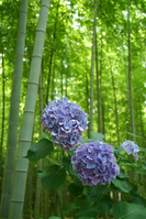Bamboo forest and hydrangea Stock photo [1472592] Clear