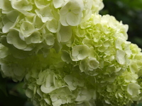 Hydrangea Stock photo [1472893] Flower
