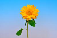 Sunflower Stock photo [1476152] Sunflower