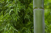 Bamboo Stock photo [1476351] Bamboo