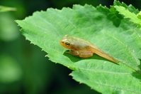 Children of Japanese tree frog Stock photo [1479103] Frog