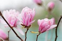 Pale pink bloom beginning of princess fist Stock photo [1479488] Princess