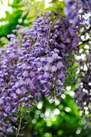 The wisteria flowers Stock photo [1479556] Rattan