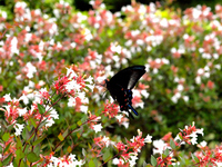 Crow suck the nectar of Abelia Ageha Stock photo [1480899] Butterfly