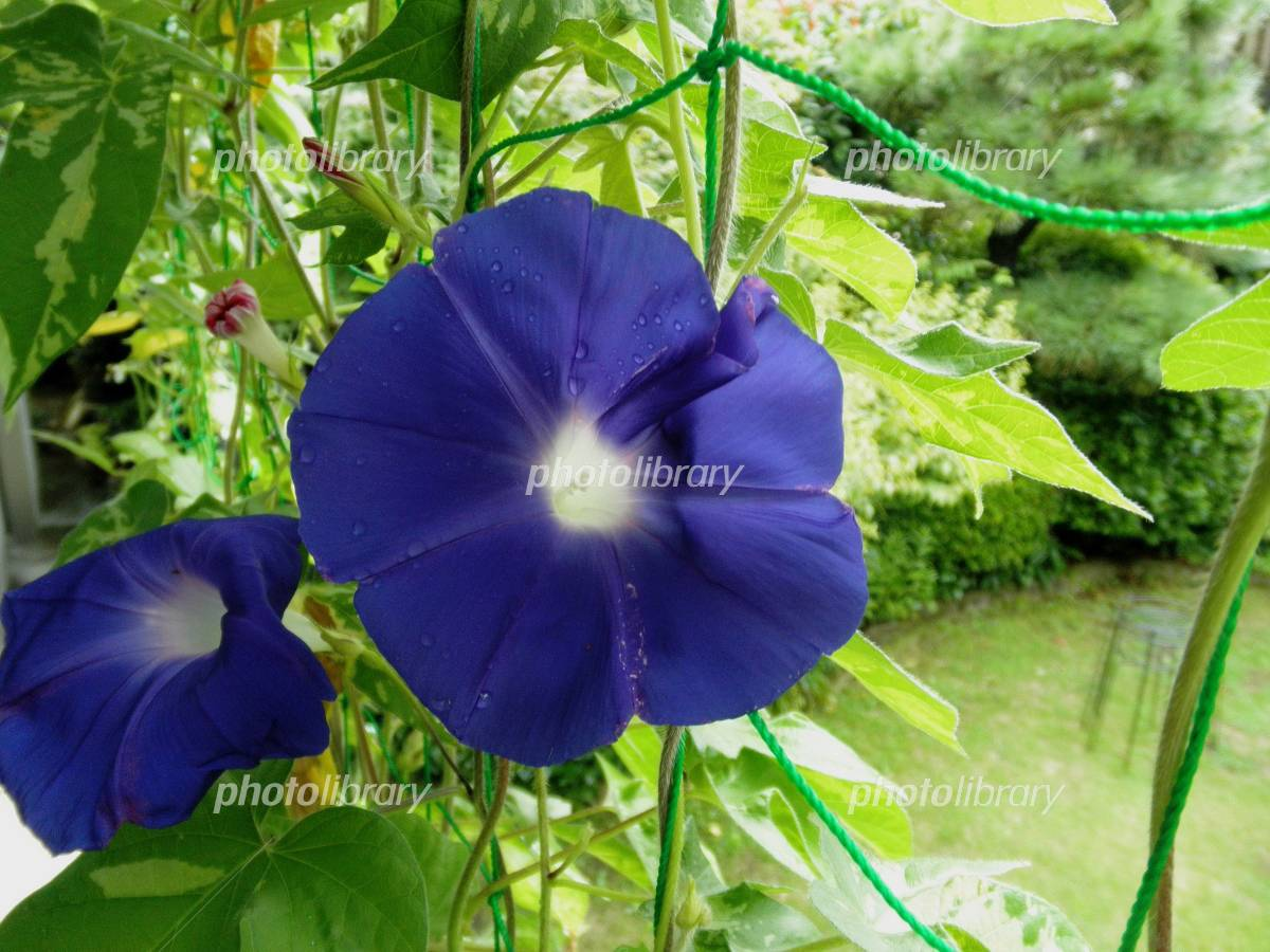 Morning glory after the rain Photo