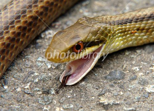 シマヘビの画像 p1_8