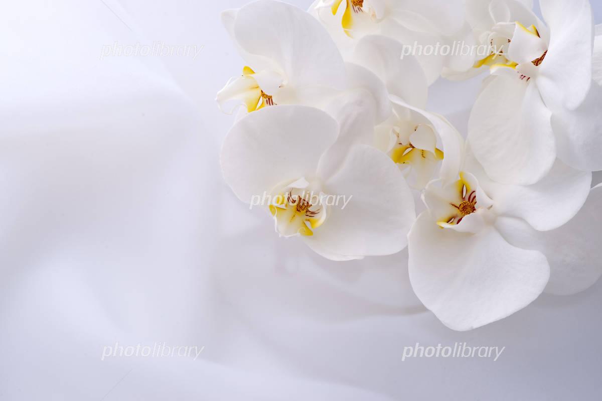 胡蝶蘭 写真素材 1579087 フォトライブラリー Photolibrary