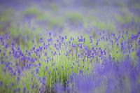 Fields of lavender Stock photo [1571524] Lavender
