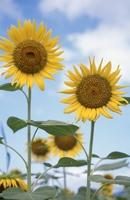 Sunflower Stock photo [1572106] Sunflower