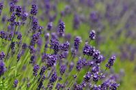 Lavender Stock photo [1572579] Summer