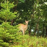 Summer of sika deer Deer