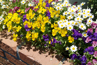 Of flower beds Pansy and daisy Stock photo [1573299] Pansy