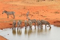 In zebra herd drinking fountains Kenya Tsavo Stock photo [1573771] Zebra