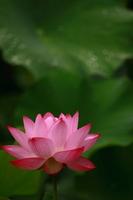 Lotus Stock photo [1574973] Kumamoto