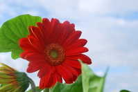 Gerbera Stock photo [1576863] Gerbera