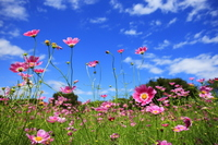 Flower Cosmos blooming in autumn Stock photo [1577080] Cosmos