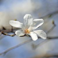 Kobushi Magnolia Stock photo [1578393] Kobushi